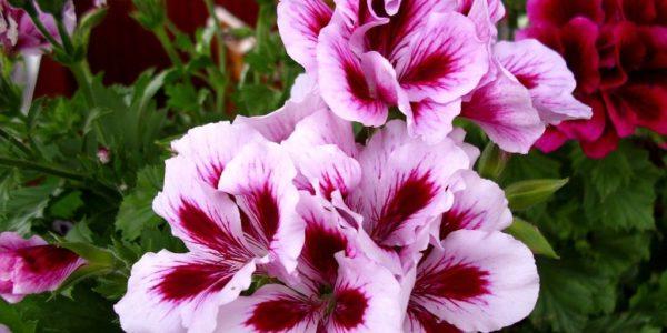 Pelargonium grandiflorum