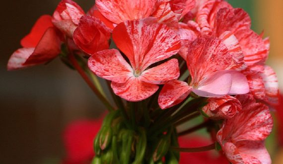 Muškát Gong Róza, foto: Franc Lanjscek