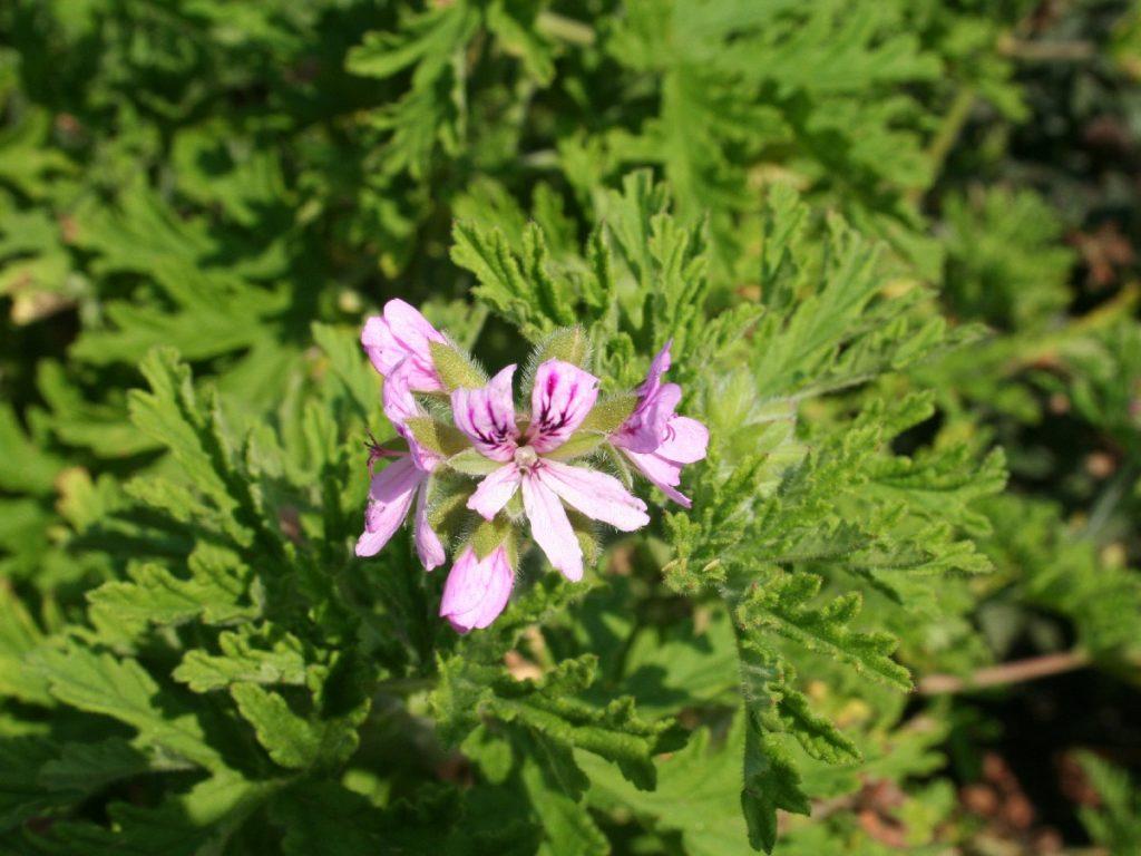 Voňavý muškát /Pelargonium graveolens/