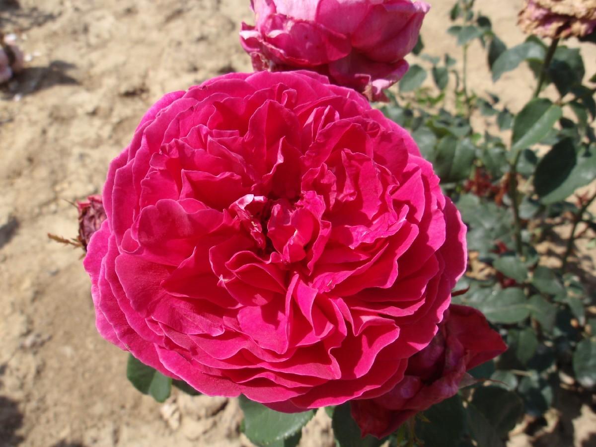 Ruža anglická Falstaff