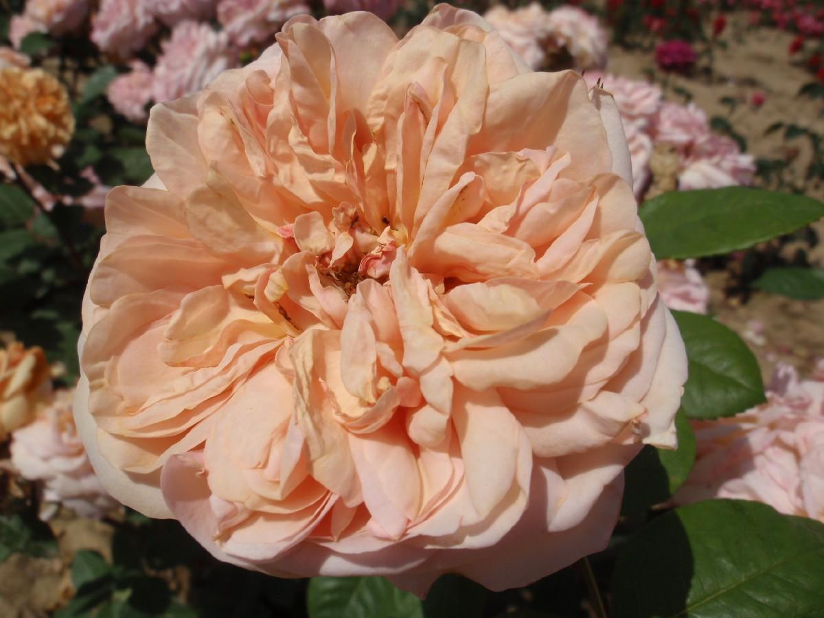 Ruža anglická A Shropshire Lad