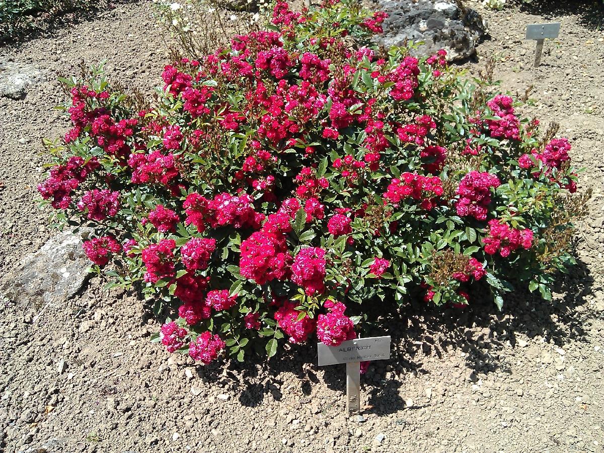 Ruža Eberwein, miniatúrna ruža
