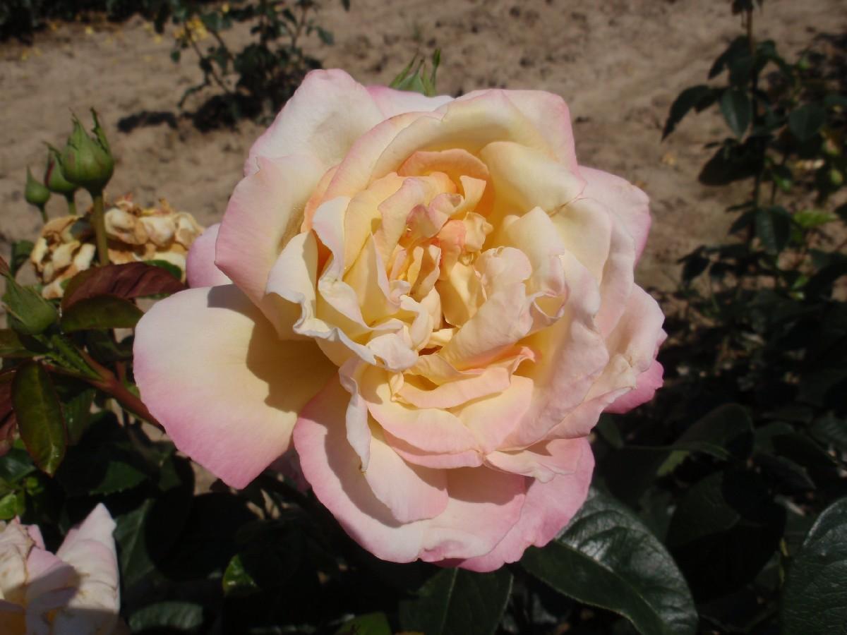 Ruža Gloria Dei, čajohybrid