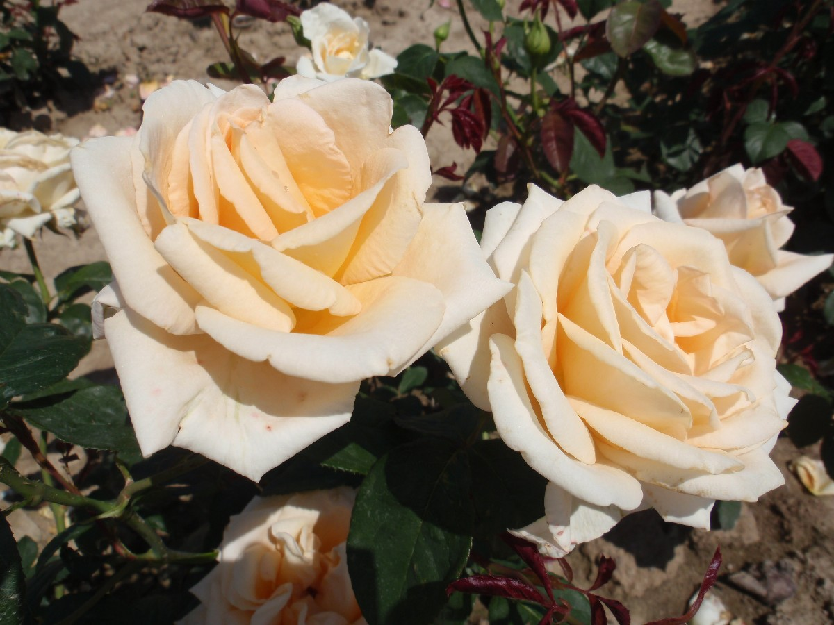 Ruža Helenka, čajohybrid