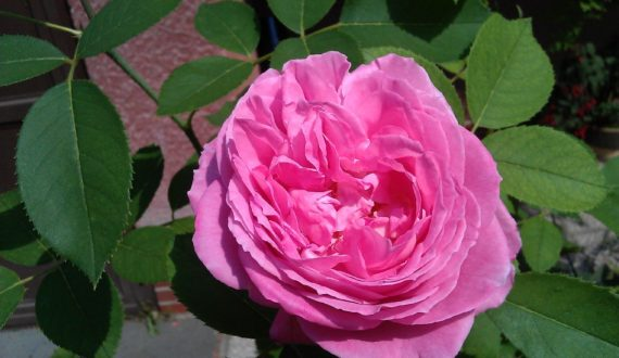 Ruža Mrs. John Laing, historická ruža