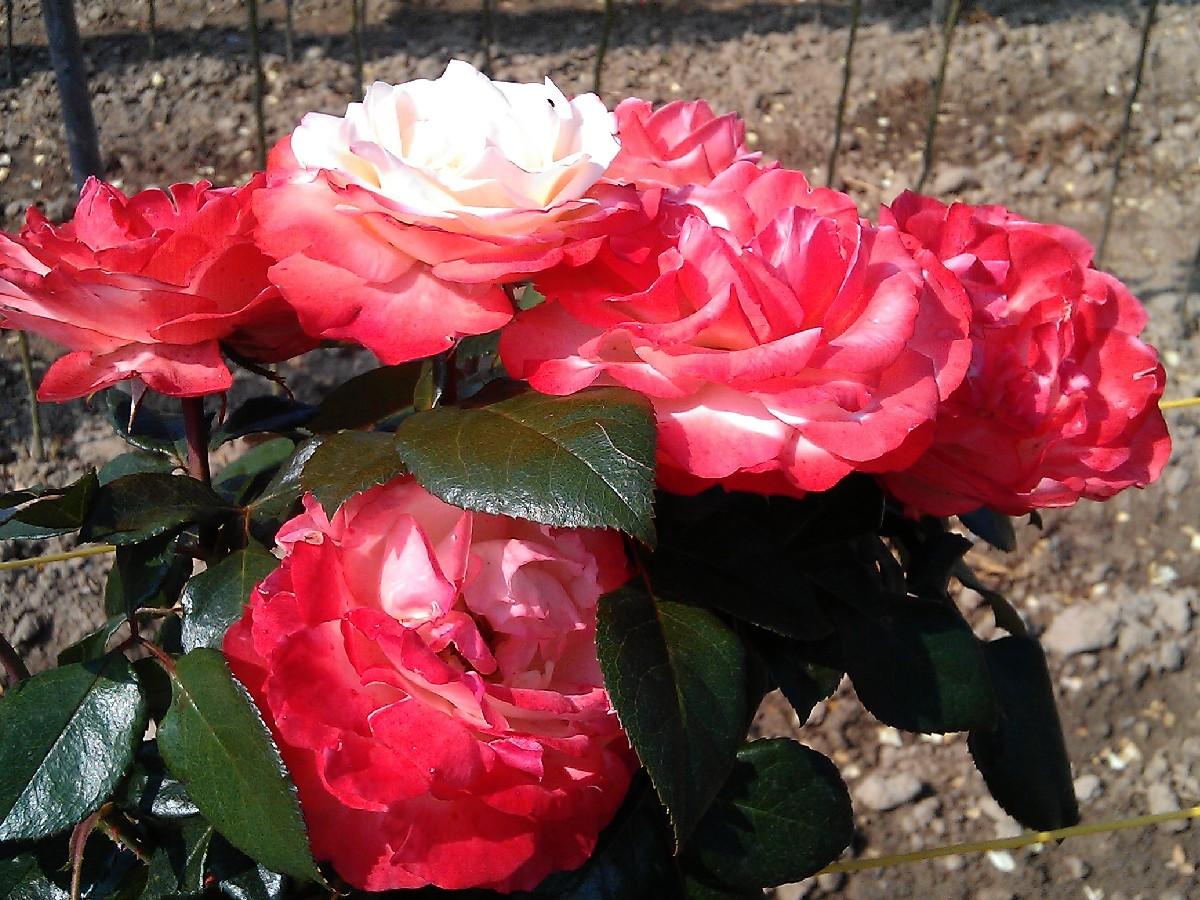 Ruža Nostalgie, gradiflora