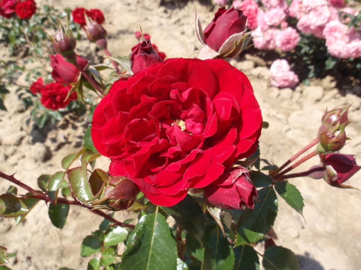 Popínavá ruža Amadeus, Kordes