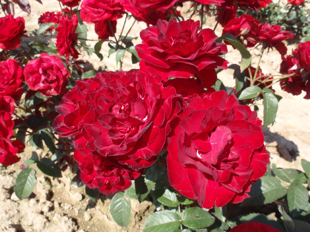 Mnochokvetá ruža Pussta, floribuda