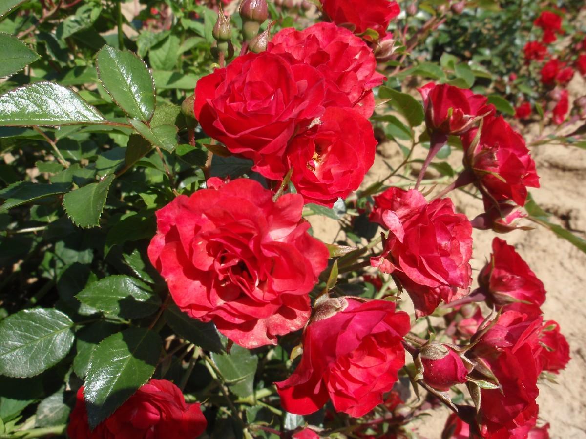 Pokryvná ruža Red Cascade, polyantka