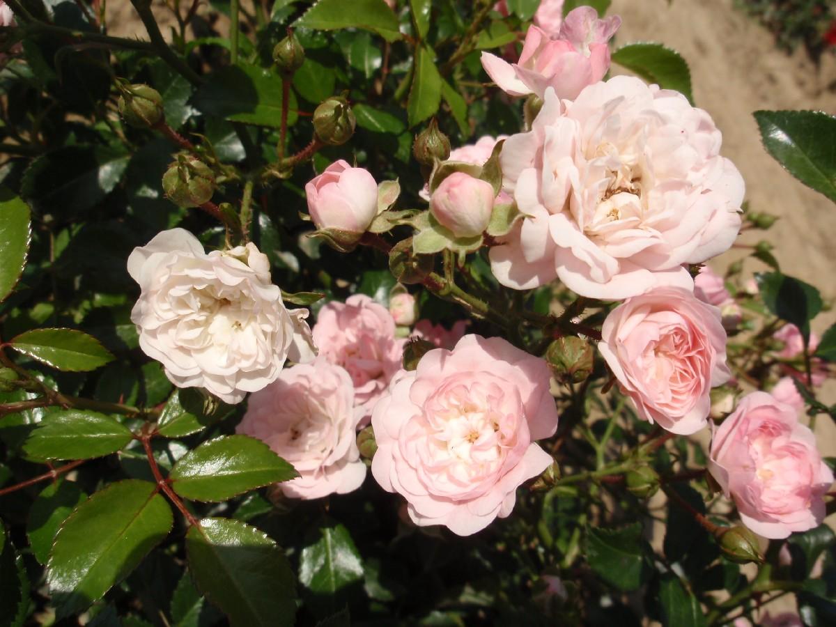 Ruža The Fairy, mnohokvetá ruža, polyantka